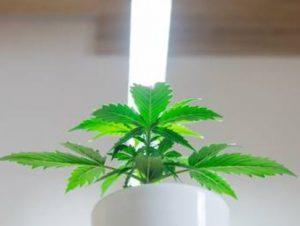 marijuana plant in grow light