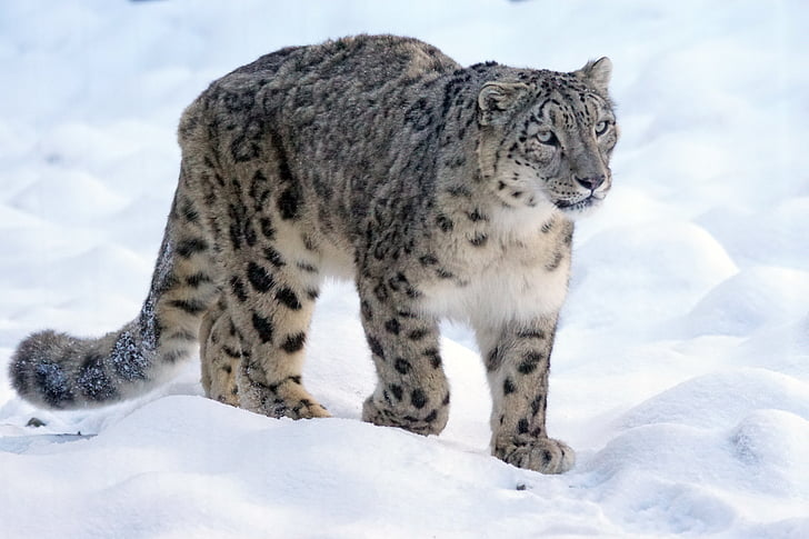 Rules about Snow Leopard Photography for Every First-Timer to Remember