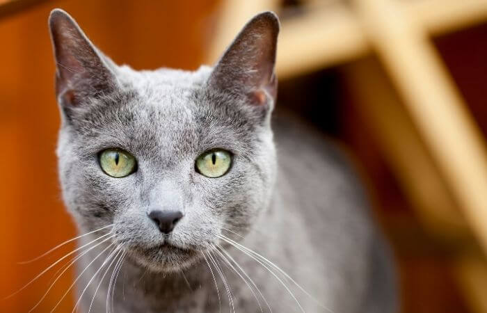 Best Blue Kittens To Buy   Puro Amor Cattery